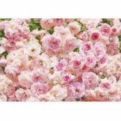Фотообои KOMAR 8-937 Rose (368*254 см)