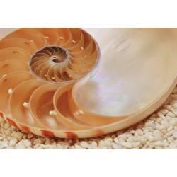 Фотообои Раковина наутилуса 184*127cm KOMAR Nautilus National Geographic